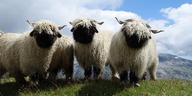 Three mighty stylesheep